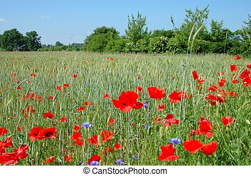 Poppies - Spring landscape