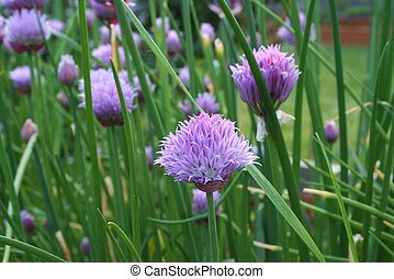 Chives - purple flowers of organically grown chive plants...
