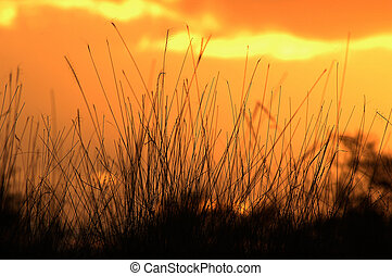 Sunset - Grass in sunset background