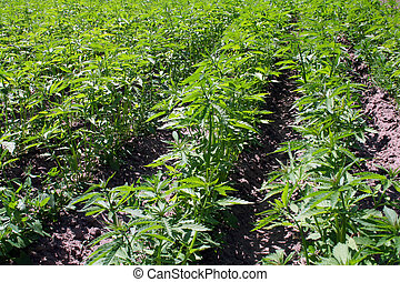 Hemp field - marijuana plants