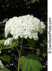 Blushing Bride Hydrangea Flower - Hydrangea macrophylla...