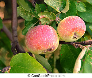 Michigan Apple Tree - Michigan apples on the tree in the...
