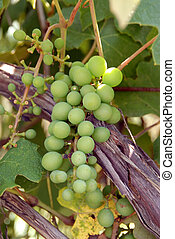 Michigan Grapes - A bunch of grapes on the vine in a...