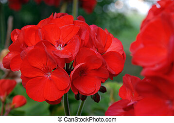 Geranium - A bright red geranium in the summer garden.