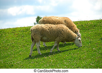 Sheep Grazing on the Hillside - Two white sheep ovis aries...