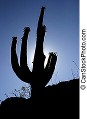 Cactus Silhouette - A saguaro cactus outlined against the...