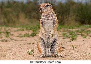 Ground squirrel - Inquisitive ground squirrel, Kalahari,...