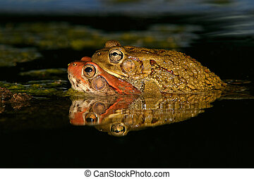 Mating red toads, South Africa