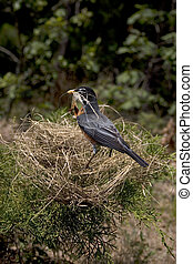 Building a Nest - a robbin with it\\\'s nest falling down...