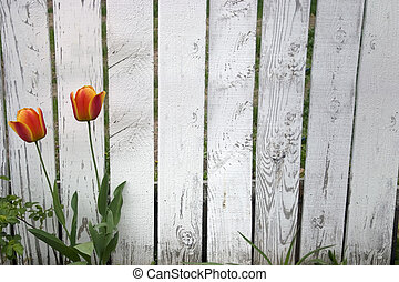 Picket Fence - an old picket fence with tulips growing in...