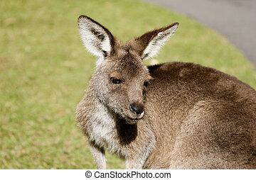 Kangaroo upclose - Kangaroo featured in Steve Irwin\\\'s...