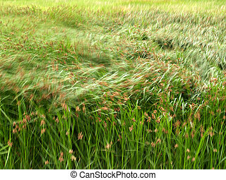 Seagrass - Grass blowing in the  wind