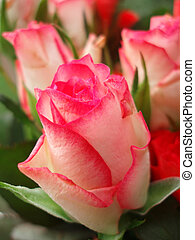 grupo, vermelho, rosas