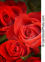 red rose - roses in macro(special soft f/x,focus point on...