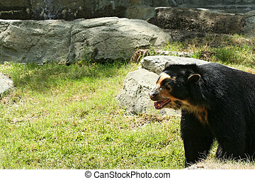 Spectacled Bear - spectacled bear