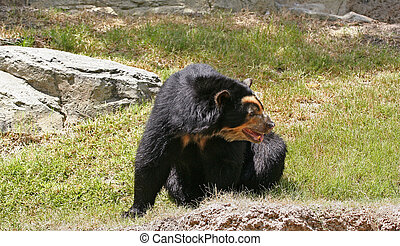 Spectacled Bear Resting - spectacled bear resting