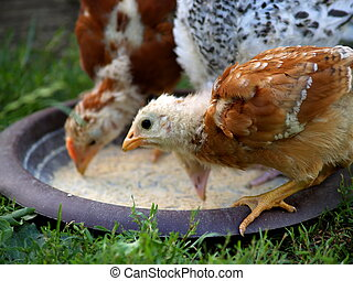 Free range - Two free range chickens eating
