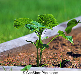 Cucumber plant growing in a home garden