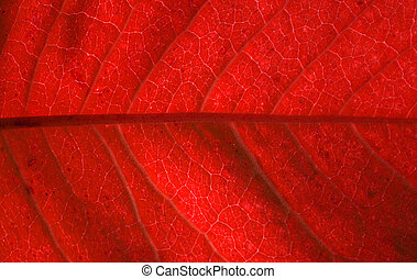 blood veins - Image of the veins of a leaf the red hue shows...