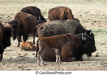 Buffalo and Calf - Buffalo mother watching over her young