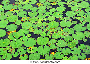 Lily pads background - Pattern of green lily pads on a lake,...