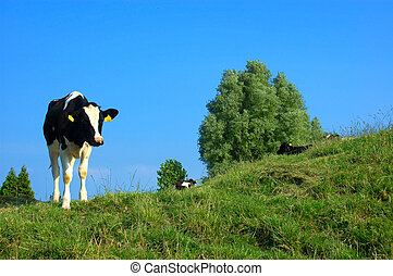 Rural scene - Cows grazing in a picturesque landscape...