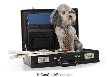 Furry Little Business Man - Silver toy poodle wearing tie...