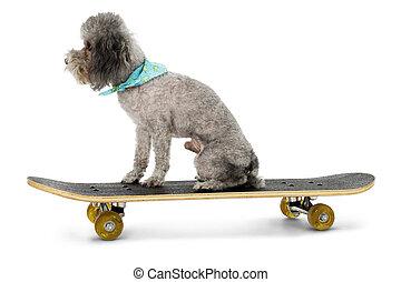 Sk8er Poodle - Silver toy poodle on skateboard.