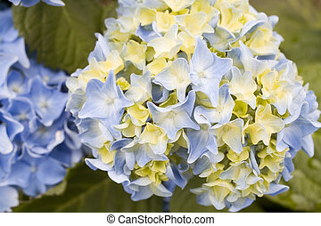Stock Photo of Blue and Yellow Hydrangea Flower - Photo of a...