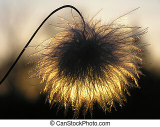 clematis seed - Silhouette of clematis seed at sunset