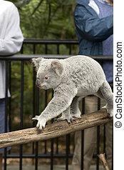 Active koala bear at Australia Zoo