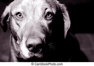 Man\\\'s bestfriend - Black and white of young golden...