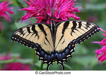 Swallowtail - Macro image of Swallowtail Butterfly in a...
