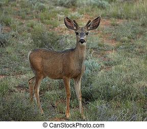 Curious Mule Deer in Field