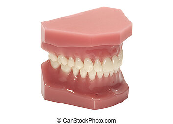 Dental Model - Isolated Dental Model