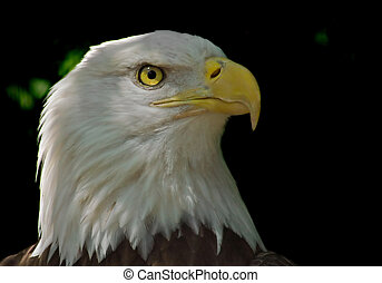 Head of Bald Eagle