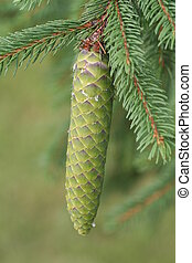 Norway Spruce Cone - Macro image of immature Norway Spruce...