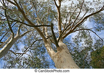 Forest Canopy - Tall Eucalypt trees in Lane Cove National...