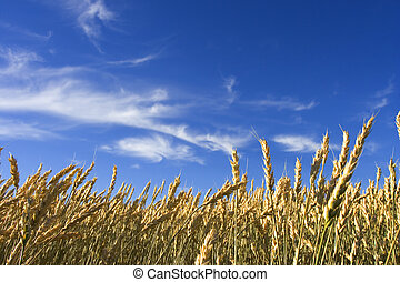 Summer wheat - Wheat field with blue sky