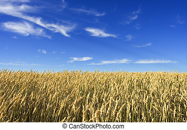 Wheat field - summer wheat field with blue sky