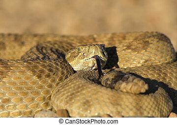 el asolearse, serpiente de cascabel
