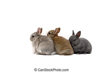 Three Bunnies - Three Netherland Dwarf bunnies on white...