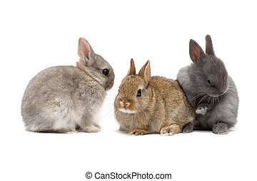 Bunnies - Three cute Netherland dwarf bunnies on white...