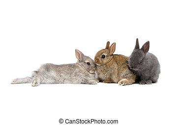 Bunnies 03 - Three Netherland Dwarf bunnies on white...