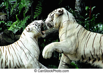 Rare White tigers - 2 Rare white tigers in a brawl