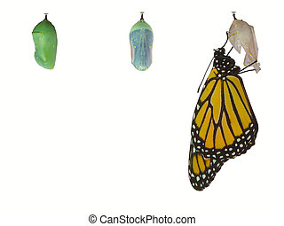 Monarch Emerging - Monarch butterfly emerging from pupa.