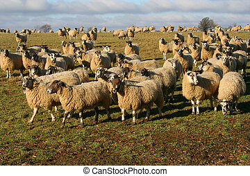 english sheep 2 - the crazy english sheep followed me in my...