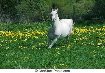 Running white horse - This arabian pintu mix white horse is...