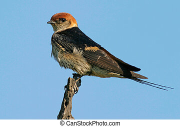 Lesser striped swallow perched on a branch, South Africa