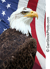 American eagle - American bald eagle, with an American flag...